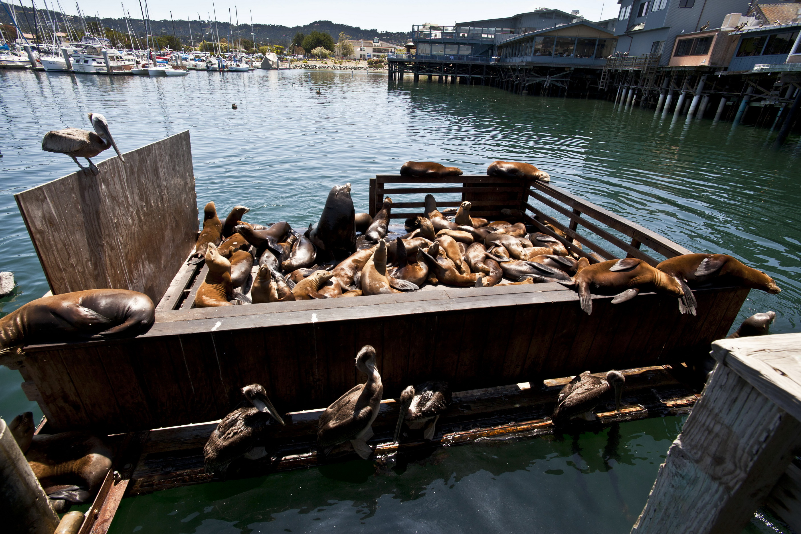 California Sea Lion Zalophus californianus Old Fishermans Grotto Wharf Monterey 43