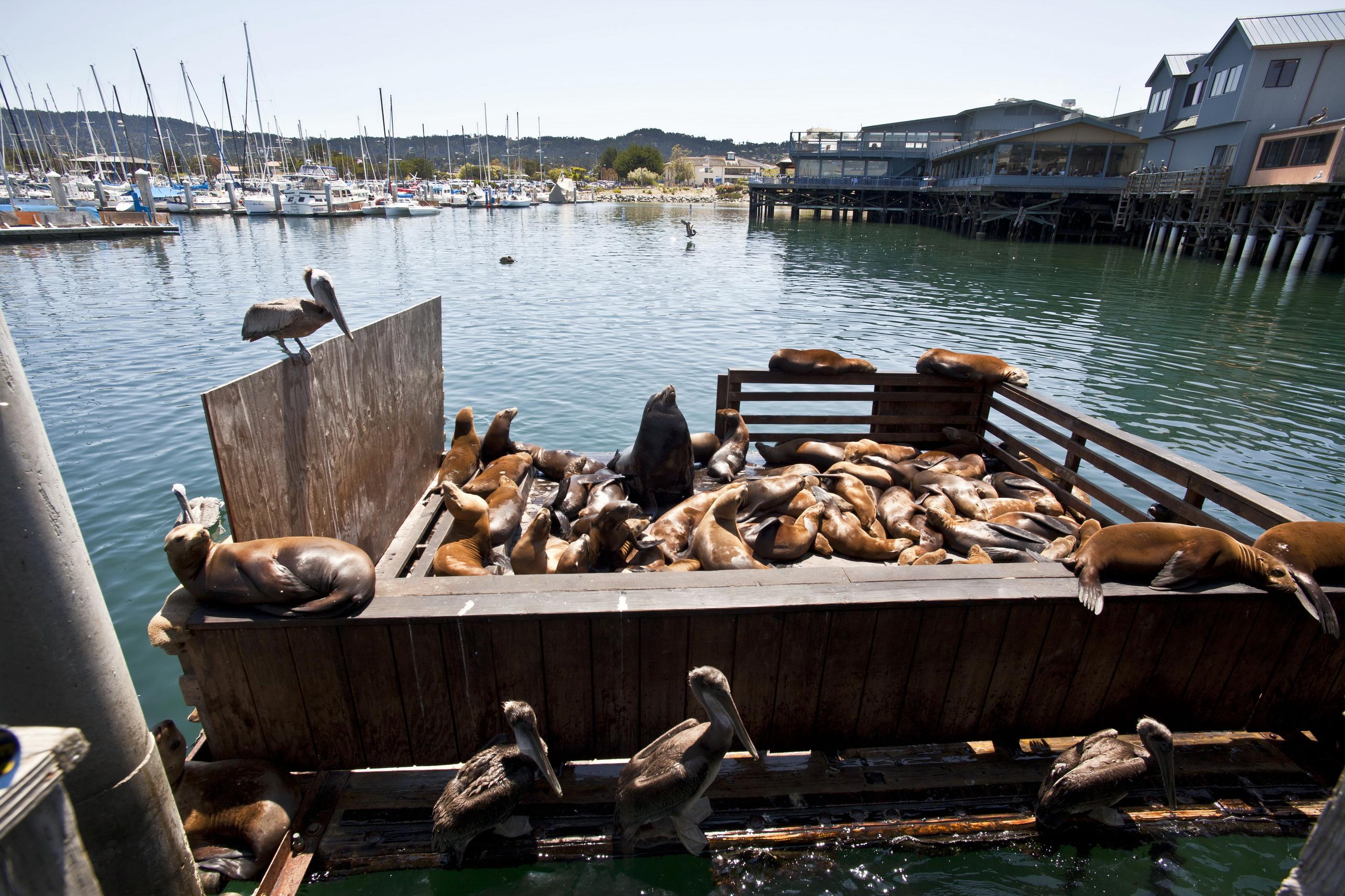 California Sea Lion Zalophus californianus Old Fishermans Grotto Wharf Monterey 45
