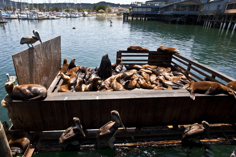 California Sea Lion Zalophus californianus Old Fishermans Grotto Wharf Monterey 46