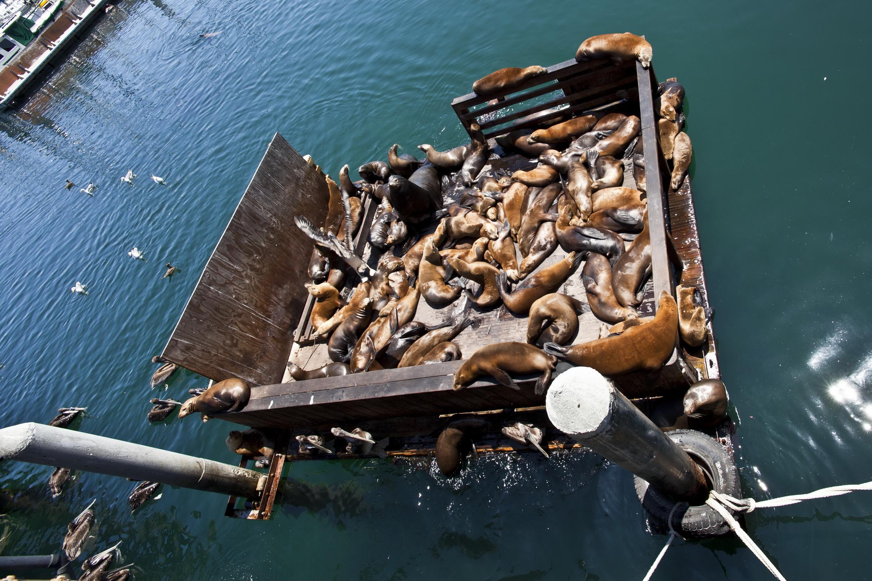 California Sea Lion Zalophus californianus Old Fishermans Grotto Wharf Monterey 49