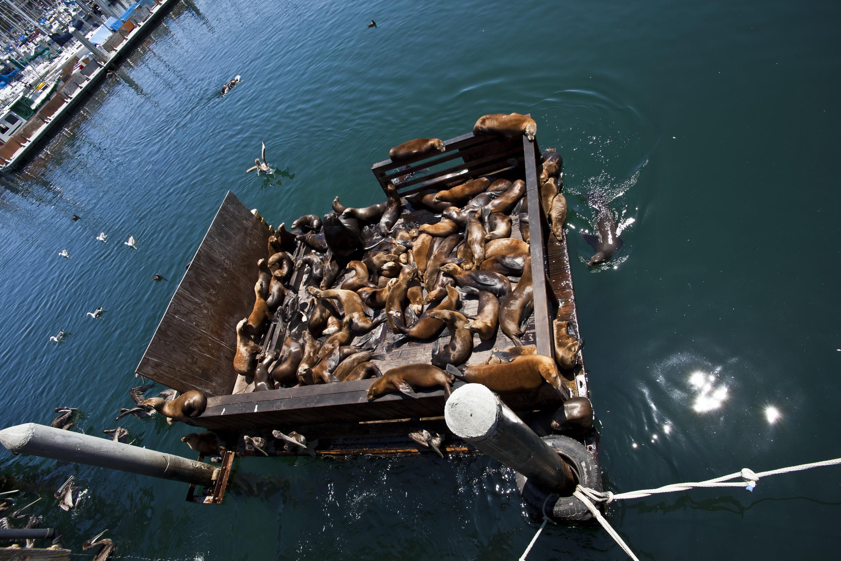 California Sea Lion Zalophus californianus Old Fishermans Grotto Wharf Monterey 51