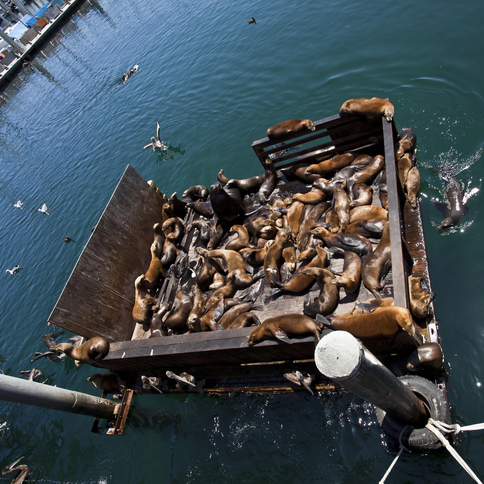 California Sea Lion Zalophus californianus Old Fishermans Grotto Wharf Monterey 52