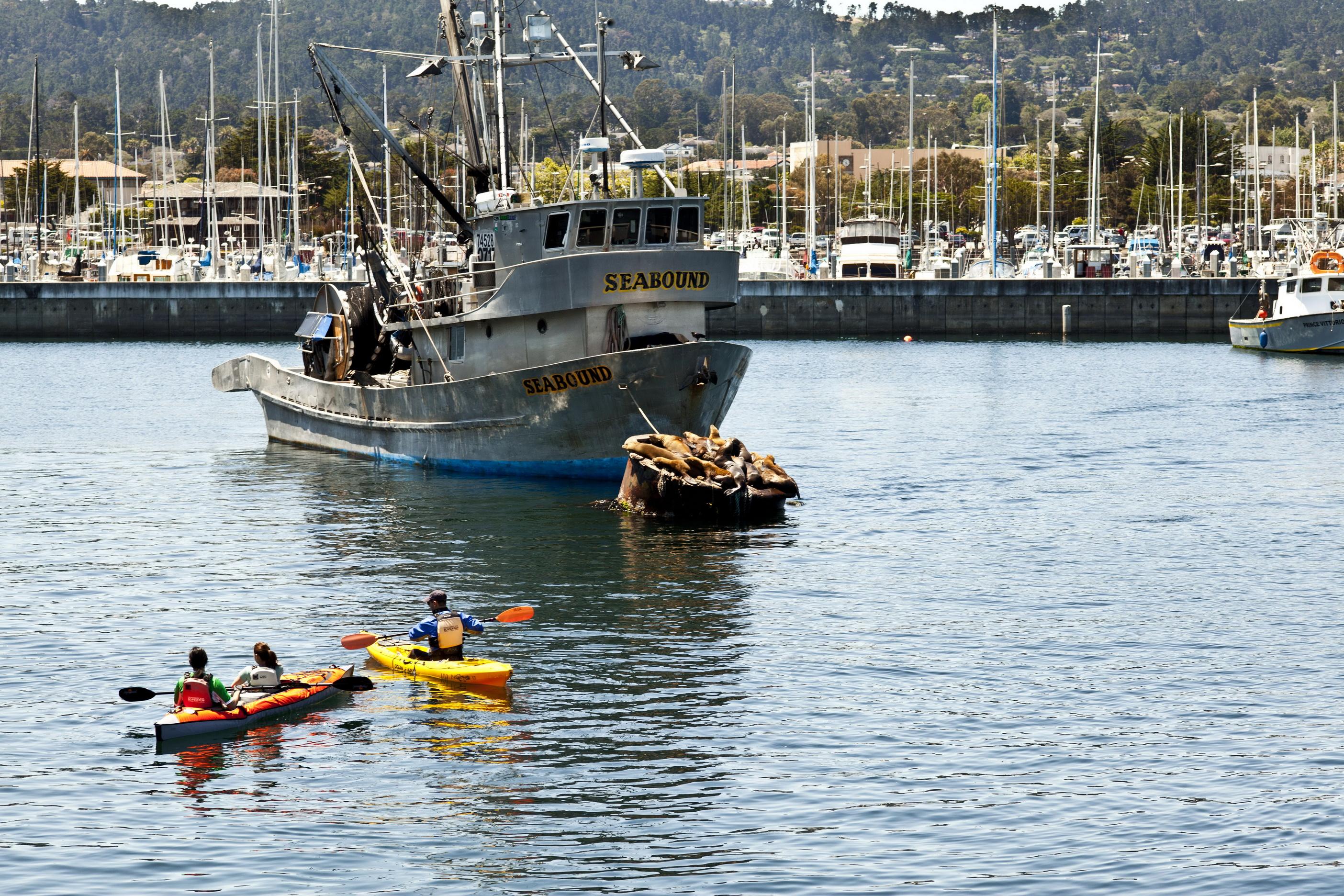 California Sea Lion Zalophus californianus Wharf 2 Monterey California July 2011 01
