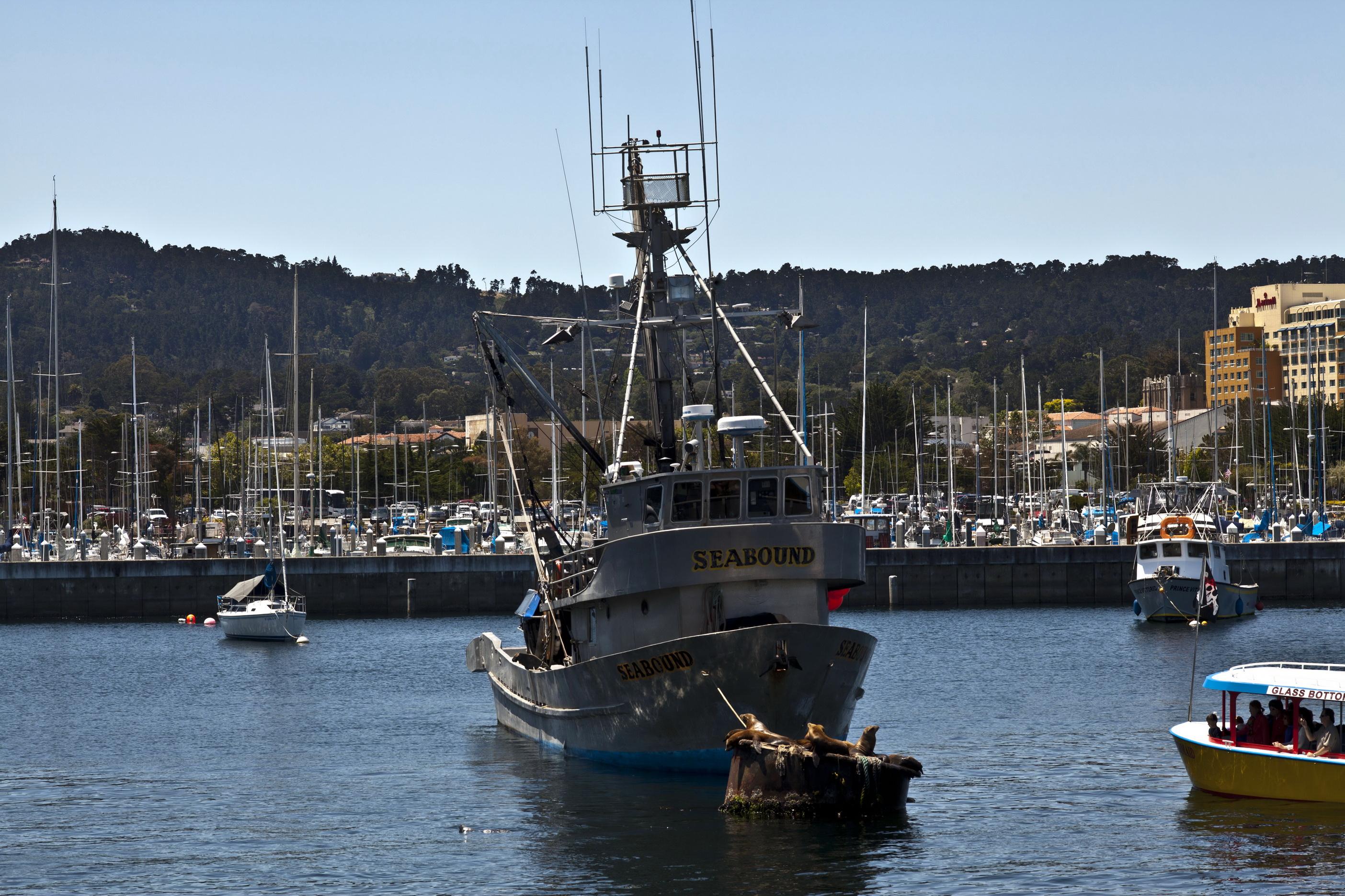 California Sea Lion Zalophus californianus Wharf 2 Monterey California July 2011 05