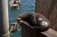Asisbiz California Sea Lion Zalophus californianus Old Fishermans Grotto Wharf Monterey 01