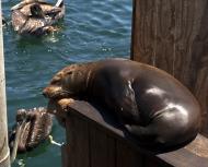 Asisbiz California Sea Lion Zalophus californianus Old Fishermans Grotto Wharf Monterey 04