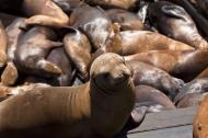 Asisbiz California Sea Lion Zalophus californianus Old Fishermans Grotto Wharf Monterey 06
