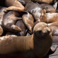 Asisbiz California Sea Lion Zalophus californianus Old Fishermans Grotto Wharf Monterey 07