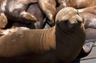 Asisbiz California Sea Lion Zalophus californianus Old Fishermans Grotto Wharf Monterey 08