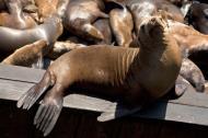 Asisbiz California Sea Lion Zalophus californianus Old Fishermans Grotto Wharf Monterey 09