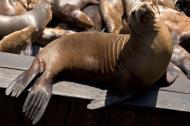 Asisbiz California Sea Lion Zalophus californianus Old Fishermans Grotto Wharf Monterey 10