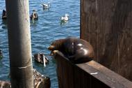 Asisbiz California Sea Lion Zalophus californianus Old Fishermans Grotto Wharf Monterey 12