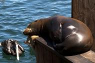 Asisbiz California Sea Lion Zalophus californianus Old Fishermans Grotto Wharf Monterey 13