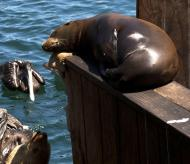 Asisbiz California Sea Lion Zalophus californianus Old Fishermans Grotto Wharf Monterey 15