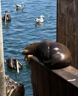 Asisbiz California Sea Lion Zalophus californianus Old Fishermans Grotto Wharf Monterey 16