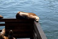 Asisbiz California Sea Lion Zalophus californianus Old Fishermans Grotto Wharf Monterey 17