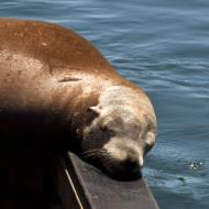 Asisbiz California Sea Lion Zalophus californianus Old Fishermans Grotto Wharf Monterey 21