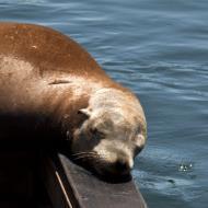 Asisbiz California Sea Lion Zalophus californianus Old Fishermans Grotto Wharf Monterey 22