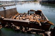 Asisbiz California Sea Lion Zalophus californianus Old Fishermans Grotto Wharf Monterey 23