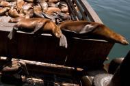 Asisbiz California Sea Lion Zalophus californianus Old Fishermans Grotto Wharf Monterey 24