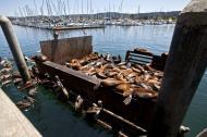 Asisbiz California Sea Lion Zalophus californianus Old Fishermans Grotto Wharf Monterey 25
