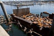 Asisbiz California Sea Lion Zalophus californianus Old Fishermans Grotto Wharf Monterey 26