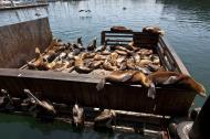 Asisbiz California Sea Lion Zalophus californianus Old Fishermans Grotto Wharf Monterey 28