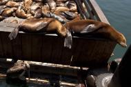 Asisbiz California Sea Lion Zalophus californianus Old Fishermans Grotto Wharf Monterey 29