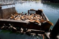 Asisbiz California Sea Lion Zalophus californianus Old Fishermans Grotto Wharf Monterey 30