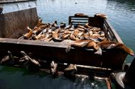 Asisbiz California Sea Lion Zalophus californianus Old Fishermans Grotto Wharf Monterey 31