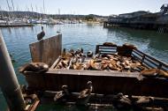 Asisbiz California Sea Lion Zalophus californianus Old Fishermans Grotto Wharf Monterey 32