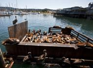 Asisbiz California Sea Lion Zalophus californianus Old Fishermans Grotto Wharf Monterey 33