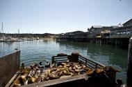 Asisbiz California Sea Lion Zalophus californianus Old Fishermans Grotto Wharf Monterey 34