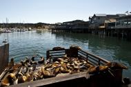 Asisbiz California Sea Lion Zalophus californianus Old Fishermans Grotto Wharf Monterey 36