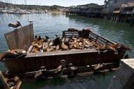 Asisbiz California Sea Lion Zalophus californianus Old Fishermans Grotto Wharf Monterey 37