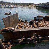 Asisbiz California Sea Lion Zalophus californianus Old Fishermans Grotto Wharf Monterey 38