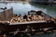 Asisbiz California Sea Lion Zalophus californianus Old Fishermans Grotto Wharf Monterey 39