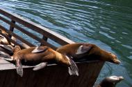 Asisbiz California Sea Lion Zalophus californianus Old Fishermans Grotto Wharf Monterey 42