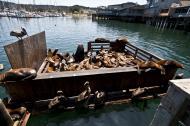 Asisbiz California Sea Lion Zalophus californianus Old Fishermans Grotto Wharf Monterey 43