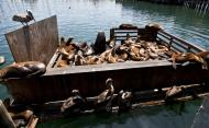 Asisbiz California Sea Lion Zalophus californianus Old Fishermans Grotto Wharf Monterey 44