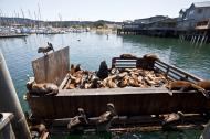 Asisbiz California Sea Lion Zalophus californianus Old Fishermans Grotto Wharf Monterey 45