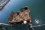 Asisbiz California Sea Lion Zalophus californianus Old Fishermans Grotto Wharf Monterey 47