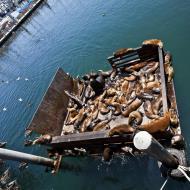 Asisbiz California Sea Lion Zalophus californianus Old Fishermans Grotto Wharf Monterey 48