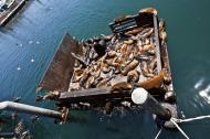 Asisbiz California Sea Lion Zalophus californianus Old Fishermans Grotto Wharf Monterey 49