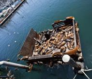 Asisbiz California Sea Lion Zalophus californianus Old Fishermans Grotto Wharf Monterey 50