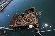 Asisbiz California Sea Lion Zalophus californianus Old Fishermans Grotto Wharf Monterey 51
