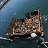 Asisbiz California Sea Lion Zalophus californianus Old Fishermans Grotto Wharf Monterey 52