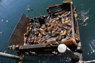 Asisbiz California Sea Lion Zalophus californianus Old Fishermans Grotto Wharf Monterey 53