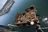 Asisbiz California Sea Lion Zalophus californianus Old Fishermans Grotto Wharf Monterey 54