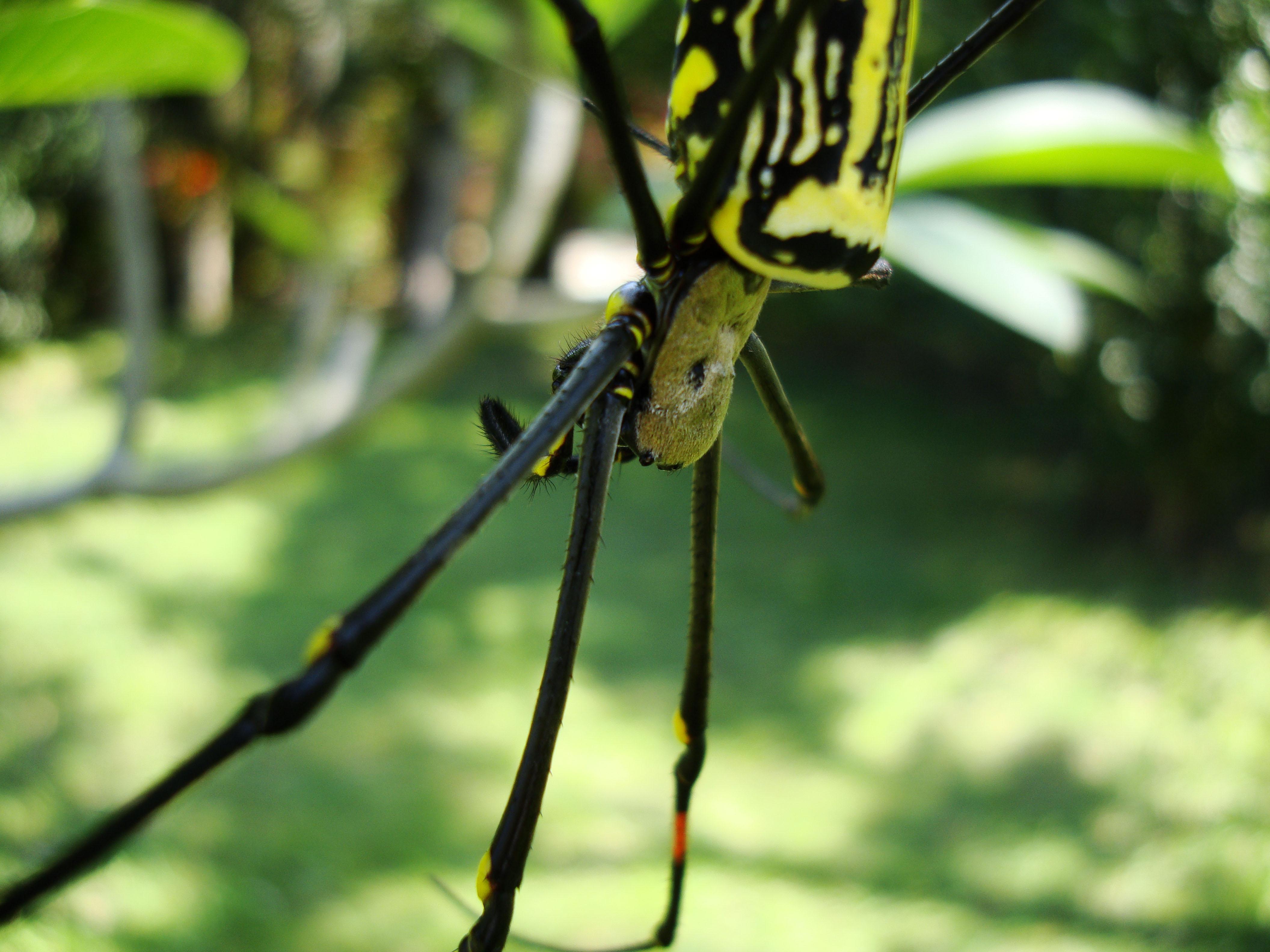 Spider Golden Orb weavers Nephila female Philippines Mar 2009 15